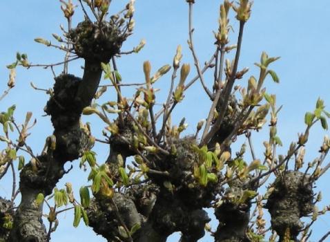 La Potatura degli alberi ornamentali in Città